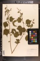 Image of Triumfetta bartramia