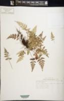 Image of Asplenium balearicum