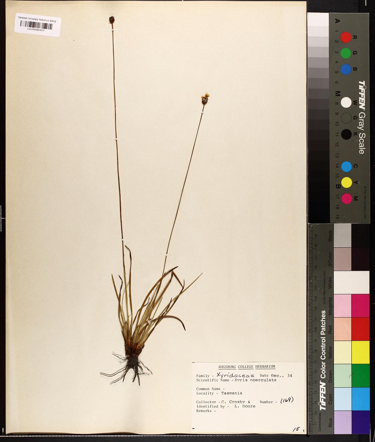 Xyris operculata image
