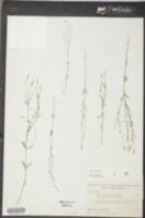 Polygala verticillata image
