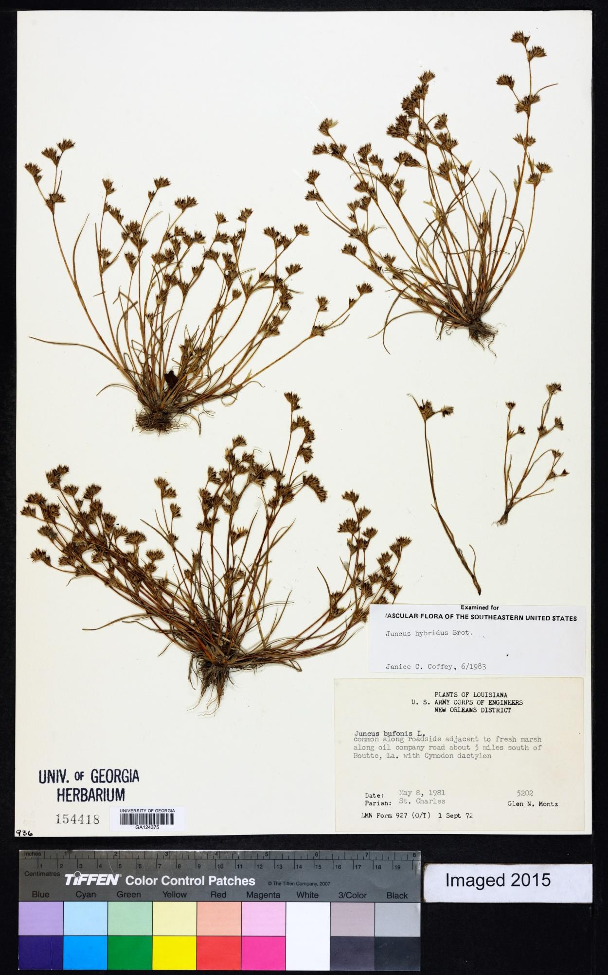 Juncus hybridus image