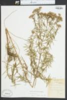 Image of Pycnanthemum hyssopifolium