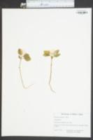 Image of Polygala pauciflora