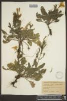 Image of Ruellia metzae