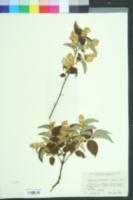 Image of Symplocos paniculata