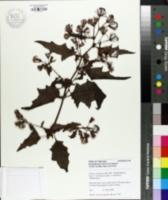 Image of Gynura aurantiaca