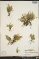 Selaginella arenicola subsp. acanthonota image