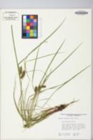 Carex baileyi image