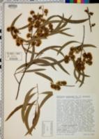 Image of Eucalyptus tenuiramis