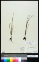 Image of Hypoxis sessilis