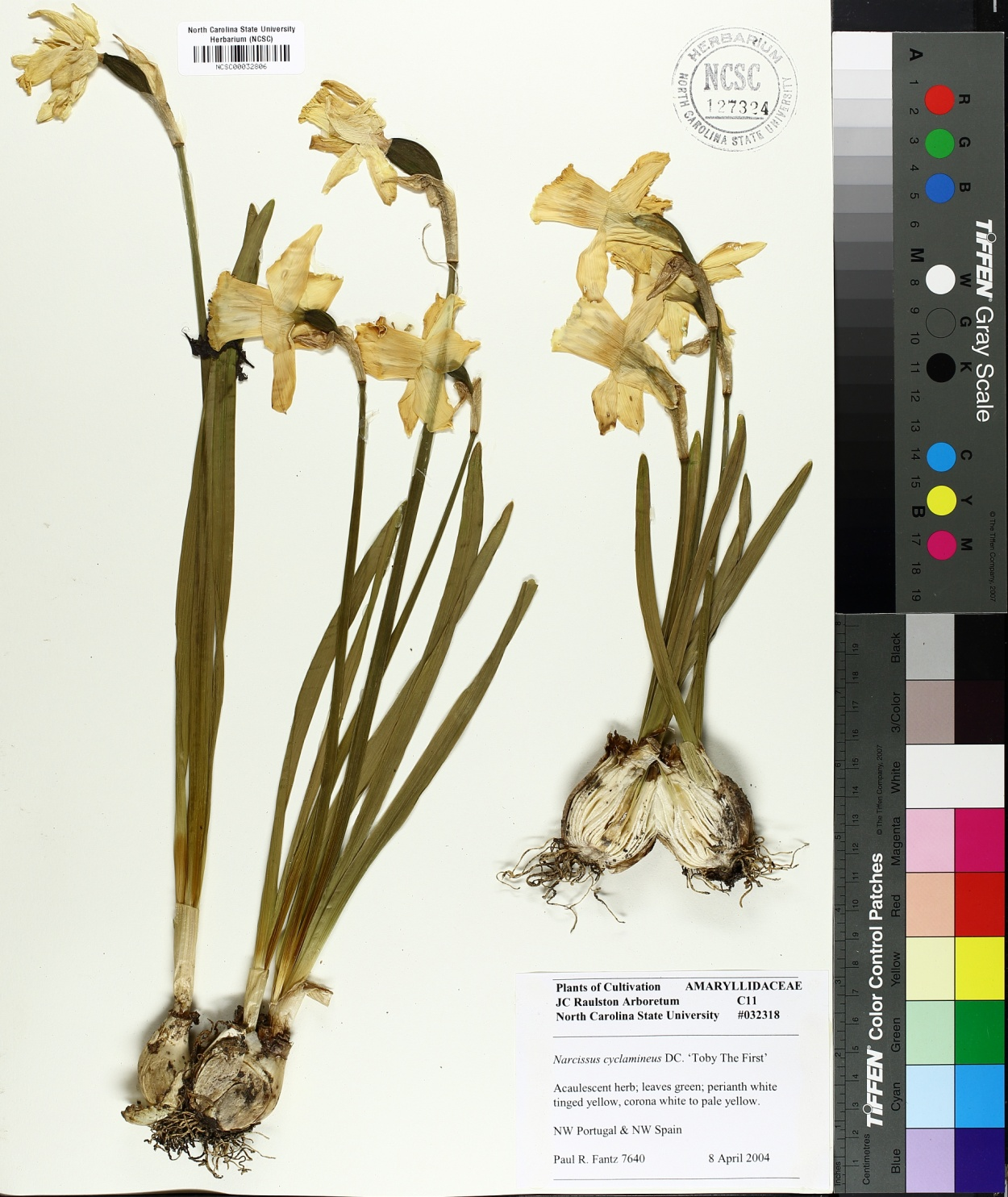 Narcissus cyclamineus image