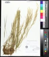Image of Sphenopholis pensylvanica