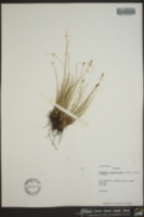 Kobresia myosuroides image