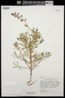 Lupinus agardhianus image