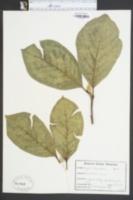 Magnolia denudata image