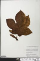 Image of Cecropia membranacea