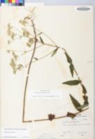 Eupatorium pilosum image