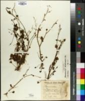 Image of Ranunculus bonariensis
