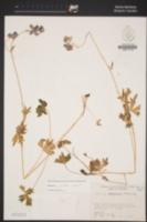 Delphinium polycladon image