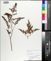 Image of Astilbe simplicifolia