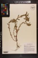 Euphorbia spathulata image