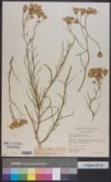 Senecio flaccidus var. douglasii image