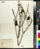 Image of Bulnesia retama