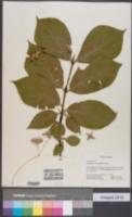 Image of Euonymus macropterus