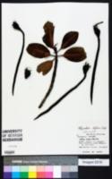Image of Rhizophora stylosa