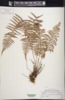 Image of Amauropelta pilosula