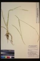 Trisetum cernuum image