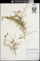 Lycium richii image