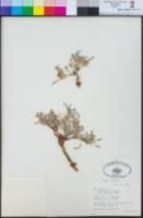Astragalus lentiginosus var. semotus image