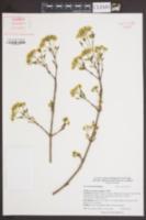 Image of Acer truncatum