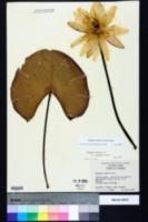 Nymphaea odorata subsp. odorata image