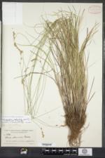 Carex tenera image