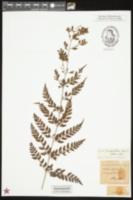 Image of Asplenium cuneatum
