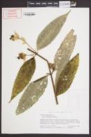Image of Chelone obliqua
