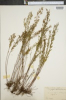 Lechea intermedia var. juniperina image