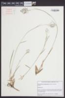 Dichanthelium longiligulatum image