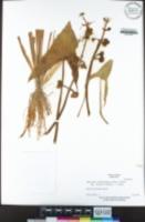 Sagittaria montevidensis subsp. calycina image