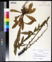 Verbascum blattaria image