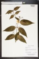 Image of Jasminum nitidum