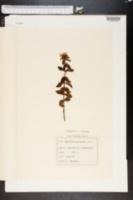 Image of Hypericum maculatum