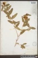 Image of Hypericum aureum