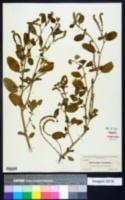 Heliotropium europaeum image