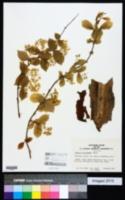 Image of Deutzia sieboldiana