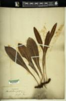 Image of Acrostichum gorgoneum