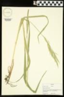 Bromus inermis image