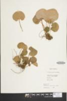 Image of Parnassia asarifolia